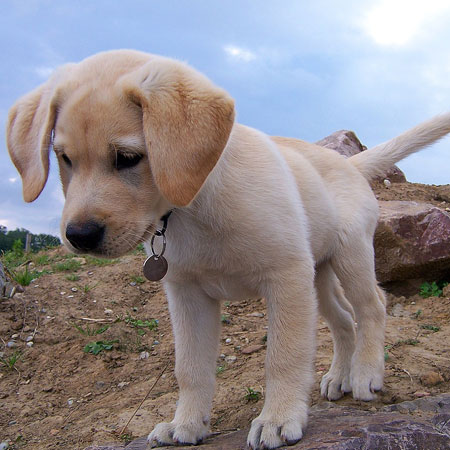 Labradors puppy dog looking down