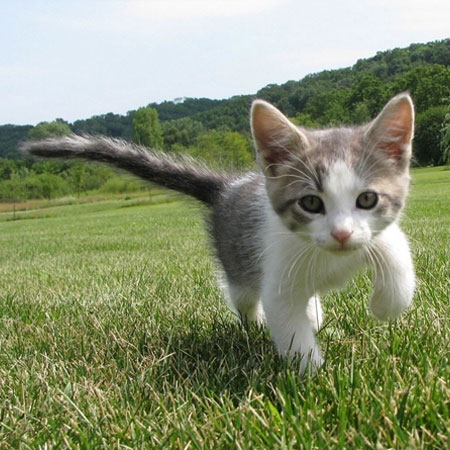 walking silver tabby kitten in the garden