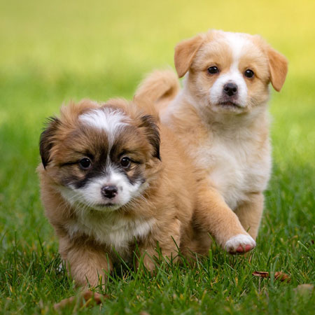 Cute young dogs are playing on a green grass meadow in a garden