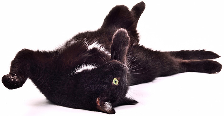 Black kitten playing lying on it's back upside down isolated on white background
