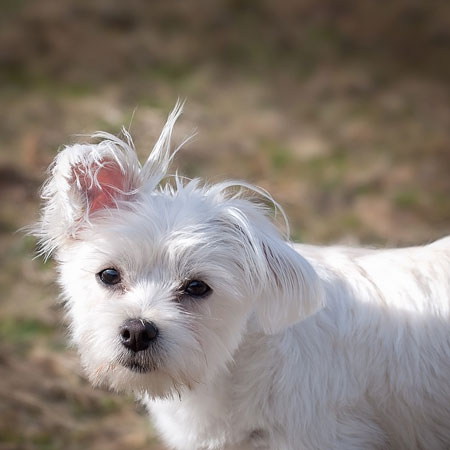 White Small Maltese Small Dog Cute Young Dog