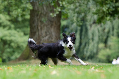 border collie dog running in the garden