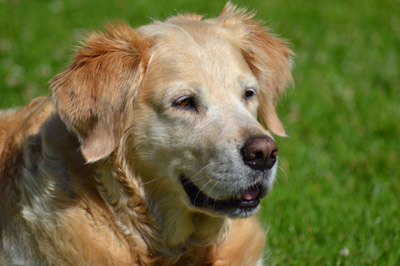 golden retriever dog on a sunny day in garden