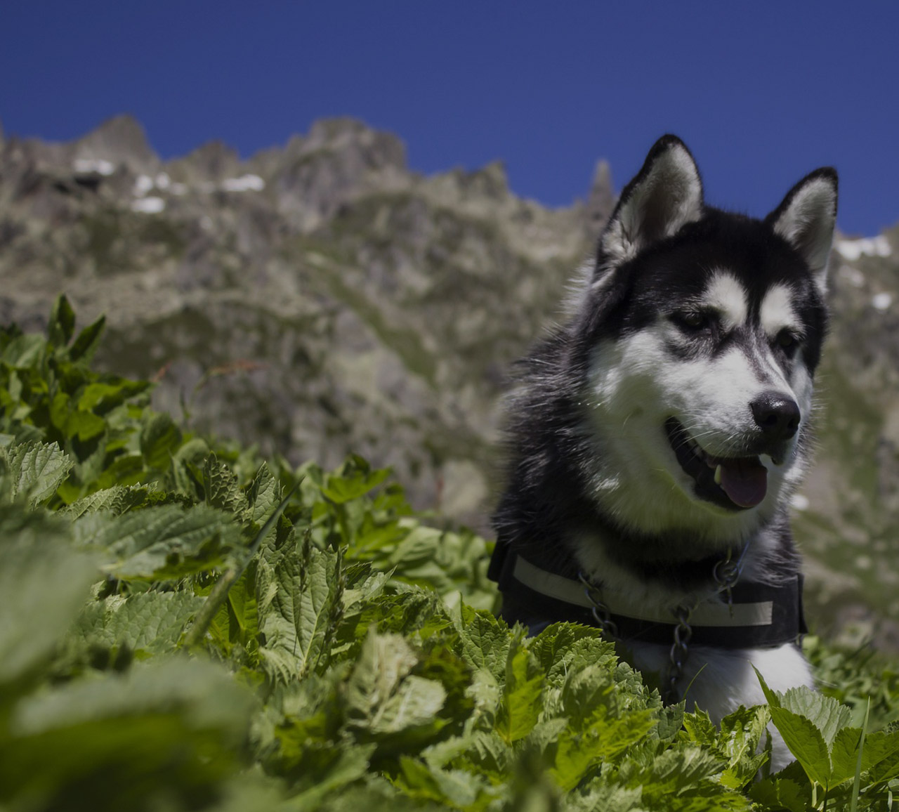 Happy Siberian Husky Dog Outdoors in the Mountains