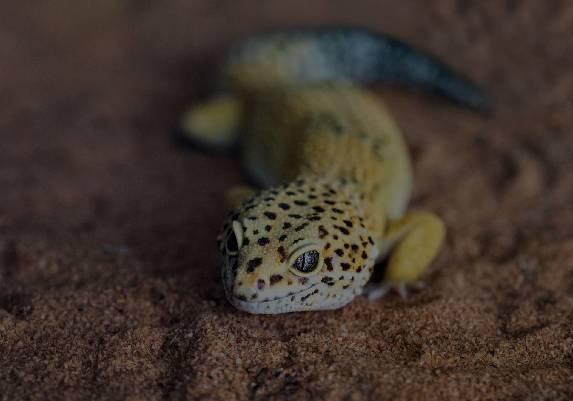 Leopard gecko Eublepharis macularius in the Zoo.