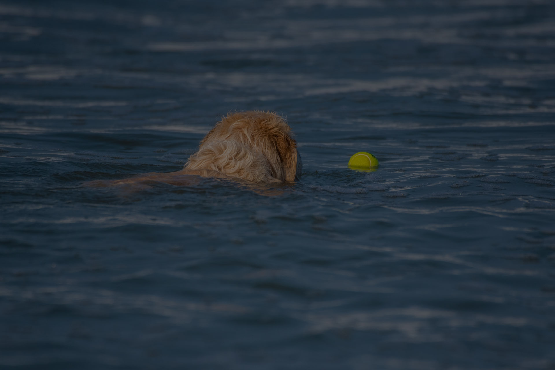 Dog swimming in water to catch the ball