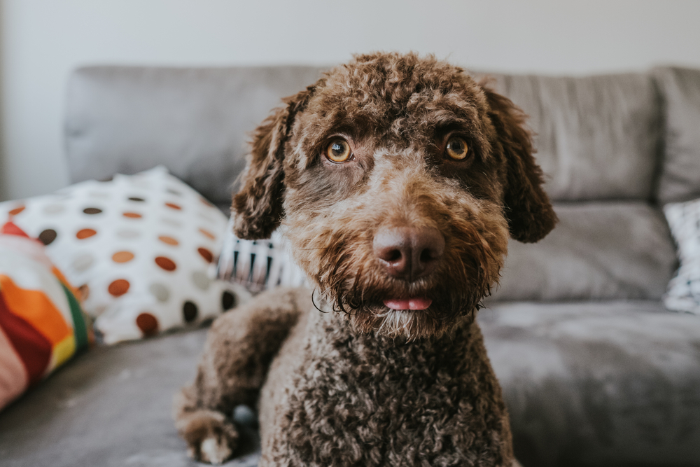 Brown Spanish Water Dog with lovely faces and big brown eyes lying on the sofa. Indoor portrait